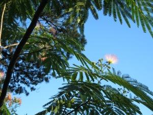 My Mimosa Tree
